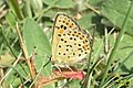 Sooty copper (NH Klainova) (31621203884).jpg