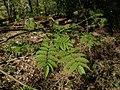 Sorbus aucuparia 122843877.jpg