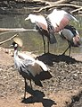South African crowned cranes.jpg