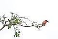Southern Carmine Bee-eater 2338837030.jpg