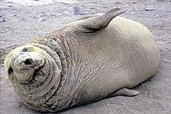 Southern elephant seal, Mirounga leonina