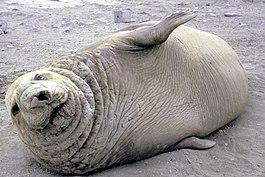 Южный морской слон — Википедия: https://ru.wikipedia.org/wiki/%D0%AE%D0%B6%D0%BD%D1%8B%D0%B9_%D0%BC%D0%BE%D1%80%D1%81%D0%BA%D0%BE%D0%B9_%D1%81%D0%BB%D0%BE%D0%BD