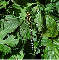 Southern Hawker dragonfly - geograph.org.uk - 1454168.jpg