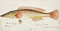 Southern Pacific fishes illustrations by F.E. Clarke 118.jpg