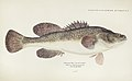 Southern Pacific fishes illustrations by F.E. Clarke 4.jpg