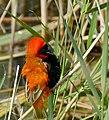 Southern Red Bishop (Euplectes orix) male (31918068734).jpg