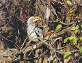 Southern yellowbilled hornbill.jpg