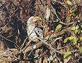 Southern yellowbilled hornbill.jpg