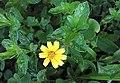 Sphagneticola trilobata (Asteraceae) 06.jpg