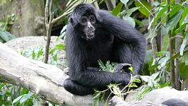 Spider monkey singapore zoo 1.JPG