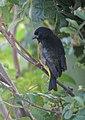 Sporaga xanthogastra Jilguero pechinegro Yellow-bellied Siskin (male) (16382623464).jpg
