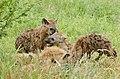 Spotted Hyenas (Crocuta crocuta) youngs playing ... (50132620453).jpg