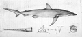 Squalus obscurus 1818.png