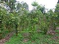 Sri Lanka-Cinnamomum verum (1).jpg