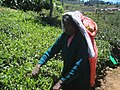 Sri Lanka-Tea plantation-15.jpg