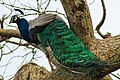 Srilankan Peacock with its heavy feathers.jpg