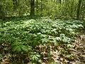 Stand of Podophyllum peltatum.jpg