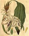 Stanhopea grandiflora (= eburnea) - Curtis v. 61 (N.S. 7) (1834) pl. 3359.jpg