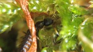 File:Staphylinidae larva - 2012-06-17.ogv