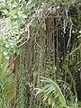 Starr-011205-0021-Clusia rosea-aerial roots-Hilo-Hawaii (24543791795).jpg