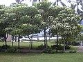 Starr-040711-0127-Aleurites moluccana-view-Heeia Park-Oahu (24596299672).jpg