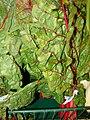 Starr-070730-7872-Beta vulgaris subsp cicla-red Swiss chard-Foodland Pukalani-Maui (24262356794).jpg