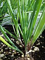 Starr-080117-2159-Allium schoenoprasum-habit-Home Depot Nursery Kahului-Maui (24876209486).jpg