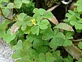 Starr-080531-4778-Oxalis corniculata-flower and leaves-Charlie barracks Sand Island-Midway Atoll (24910724685).jpg