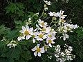 Starr-081230-0097-Montanoa hibiscifolia-flowers-Upper Kaulana-Kahoolawe (24926896885).jpg