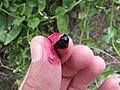 Starr-090806-3827-Basella alba-squashed fruit and juice-Wailuku-Maui (24878050611).jpg