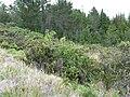 Starr-100720-3391-Rubus hawaiensis-fruiting habit-Hosmers Grove Haleakala National Park-Maui (24748337940).jpg