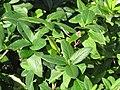 Starr-110215-1189-Lonicera japonica-leaves with Strymon bazochii-KiHana Nursery Kihei-Maui (24982484731).jpg