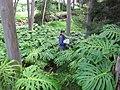 Starr-110307-2359-Monstera deliciosa-habit with Kim-Kula Botanical Garden-Maui (24450012953).jpg