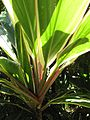 Starr-110330-4138-Cordyline fruticosa-green and white with pink margin-Garden of Eden Keanae-Maui.jpg