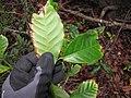 Starr-120229-3124-Coffea arabica-leaf underside-Waikapu Valley-Maui (25136592695).jpg