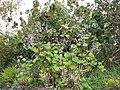 Starr-120312-3821-Roldana petasitis-fruiting habit-Kula Botanical Garden-Maui (25044546631).jpg