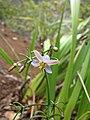 Starr-120425-5148-Dianella sandwicensis-form multipedicellata-Waikapu Valley-Maui (24509584494).jpg