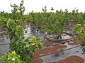 Starr-120620-7540-Jatropha curcas-biofuel trial plantings-Kula Agriculture Park-Maui (24515188894).jpg