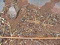 Starr-120620-9732-Jatropha curcas-seedpods on ground-Kula Agriculture Park-Maui (24889846170).jpg