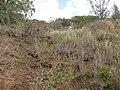 Starr-130319-3064-Lantana camara-habit with Kim-Kilauea Pt NWR-Kauai (24912979820).jpg