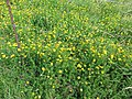 Starr-130605-4711-Lotus uliginosus-flowering habit-Olinda-Maui (25211574145).jpg