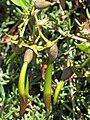 Starr-130703-5580-Rhizophora mangle-seeds-Kealia Pond-Maui (25101164082).jpg