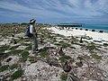 Starr-150403-0364-Coronopus didymus-Kim and Laysan Albatrosses-Near Pier Eastern Island-Midway Atoll (24649671843).jpg