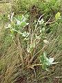 Starr-151214-3254-Calotropis procera-flowering habit-Upper Hakioawa-Kahoolawe (25680578504).jpg