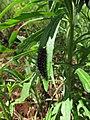 Starr-160218-3932-Conyza bonariensis-Secusio extensa larva resting on leaf-Hawea Pl Olinda-Maui (26879234701).jpg