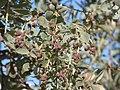 Starr-160717-0237-Conocarpus erectus-fruit leaves-Vitas Healthcare Delray Beach-Florida (29377430150).jpg