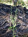 Starr-170304-0321-Conyza bonariensis-habit-Lower Waiohuli Trail Polipoli-Maui (33382578655).jpg