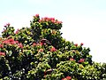 Starr-180305-0918-Metrosideros polymorpha-lots of flowers with apapane sipping nectar-Kahikinui-Maui (39426722070).jpg