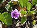 Starr 010202-0211 Ipomoea pes-caprae subsp. brasiliensis.jpg