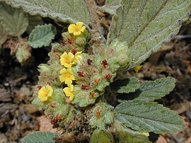 Starr 010818-0026 Waltheria indica.jpg